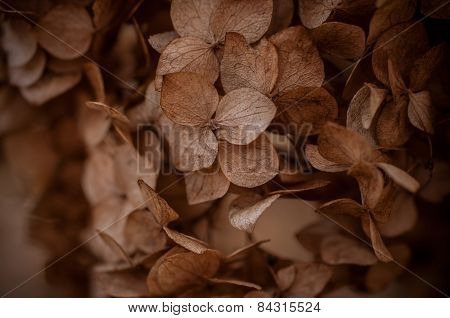 Dried Hydrangea Flower Head Texture