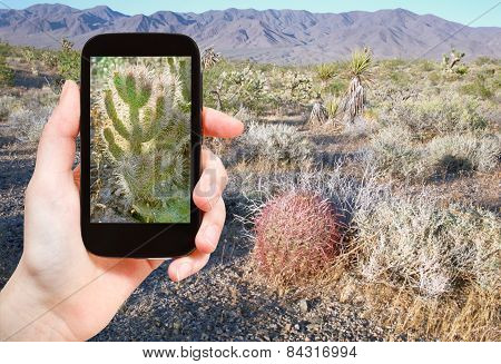 Tourist Shooting Photo Of Cactus In Mojave Desert
