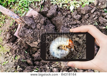 Man Taking Photo Of Grub Of Cockchafer In Garden