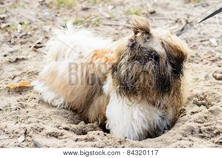 Wet Dirty White Brown Shih Tzu