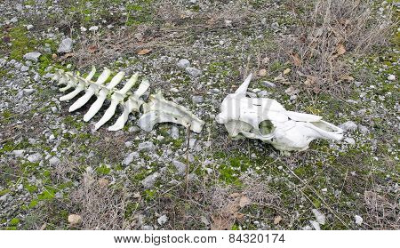 Skull And Part Of The Backbone Of A Cow