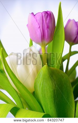 Lilac tulips.