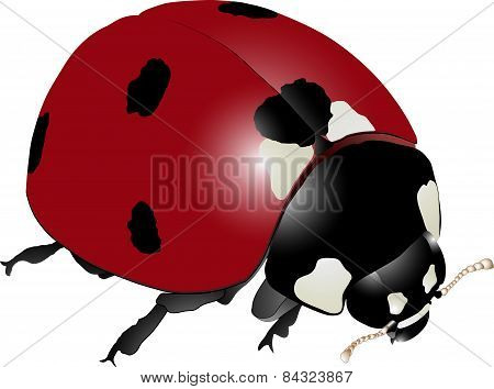 Detailed Realistic Ladybug Vector Drawing (Coccinella septempunctata)