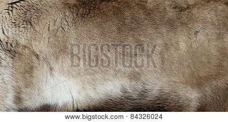Reindeer Pelt