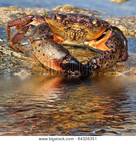 Crab On Coastal Rocks