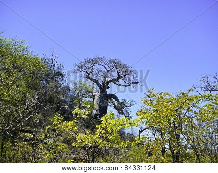 Baobab tree in savannah, Kruger, South Africa