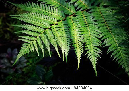Green Fern Leaves Against Darkness Background Use For Purity Natural Backdrop