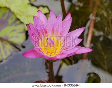 Very beautiful lotus stem varieties Thailand with little bee