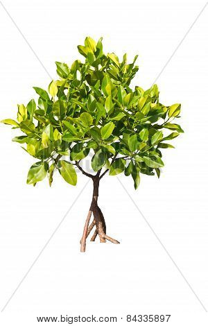 Isolated Young Mangrove Tree