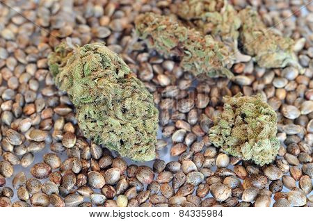 Dry marijuana buds and seeds