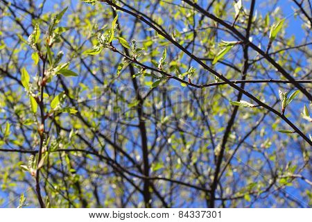 Twigs With Spring Buds