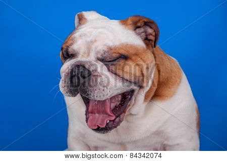 English Bulldog Yawning