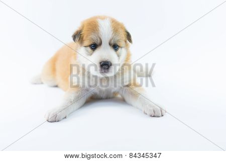 Portrait Dog Puppy Isolate