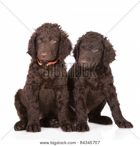 two curly brown coated retriever puppies