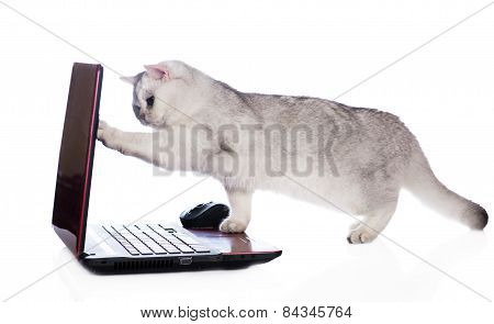 British shorthair cat with a laptop