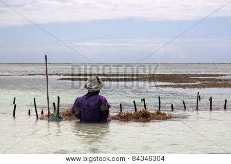 Havesting kelp