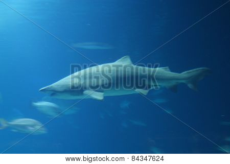 Grey Shark In Deep Blue Water