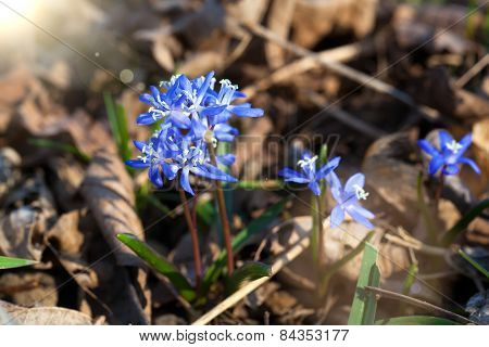 Siberian Squill Blue