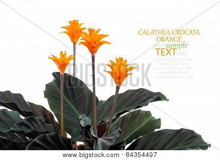 Eternal Flame Flower (calathea Crocata Orange) In  Flowerpot On White Background. Calathea Crocata I