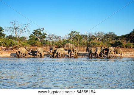 A herd of elephants drink on the Chobe riverside