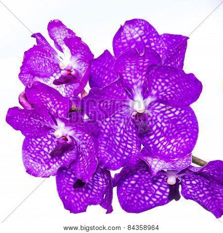 Purple Vanda Orchid Isolated