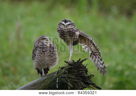 Burrowing owls stretching