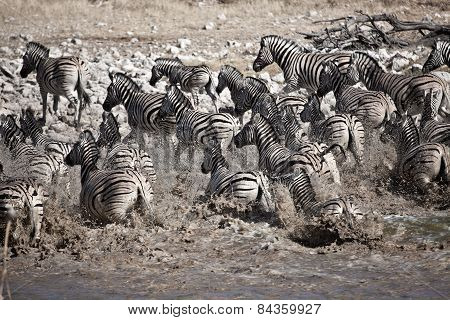 Zebra's running from a water hole in Namibia.