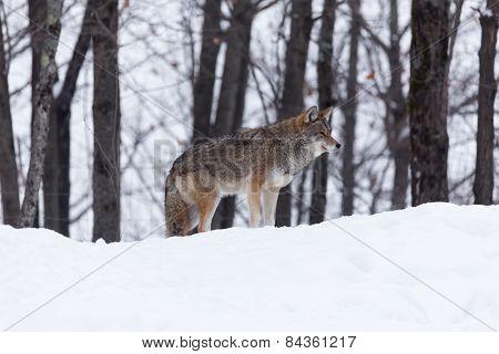 A lone coyote in a winter scene