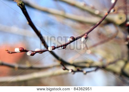 Blossoming spring willow