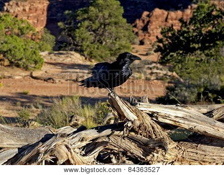 Raven, Canyonlands National Park
