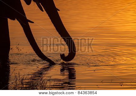 Two elephant trunks sip water at sun set