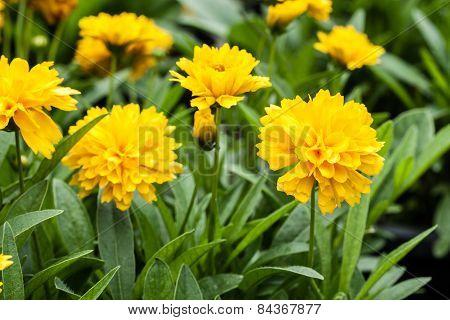 Blossom Marigold Flower.
