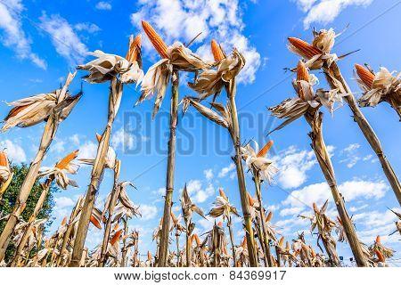 Dried corn in a corn field against blue sky.
