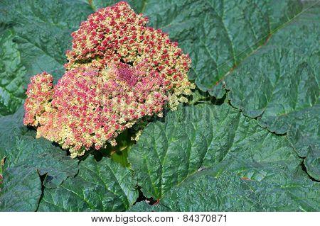Semidesert Plant In Bloom
