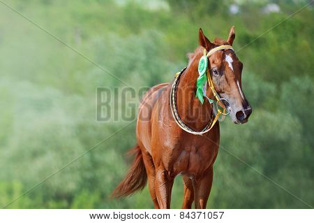 Portrait of a horse winner in the competition with a beautiful rosette on the bridle.