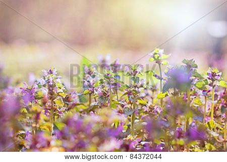 Purple meadow flowers ( wild flower)