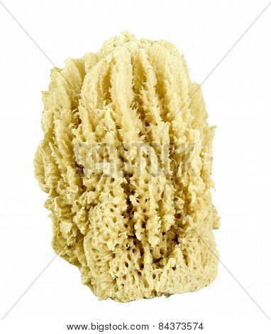Natural Sea Sponge Isolated