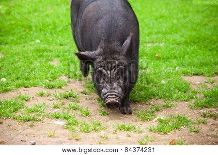 Black Pig Walks On Green Grass