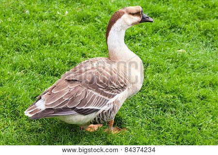 Big Gray Brown Goose Stands On Grass