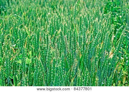 Unripe wheat - immature wheat