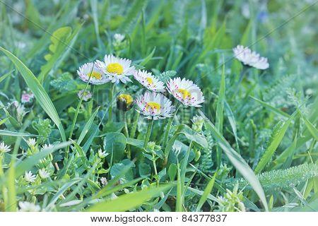 Little daisy flower in spring, in a meadow