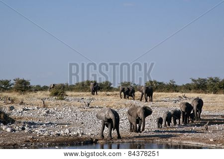 Elephants coming in to drink at Etosha national Park.