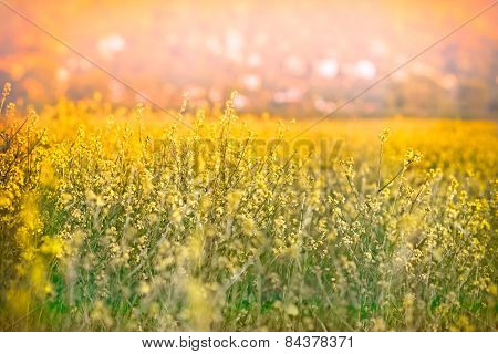 Rapeseed - yellow flower
