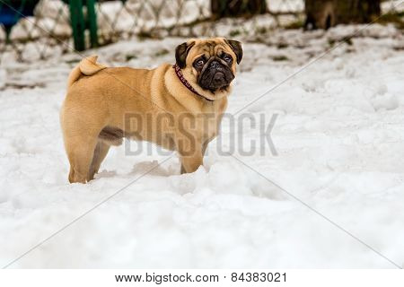 Pug in snow.