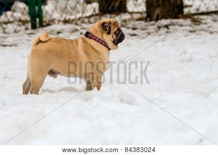 Pug and snow.