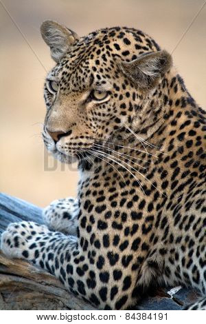 A leopard stars towards the camera in Botswana