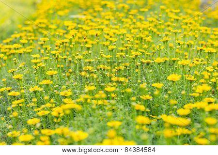 Marigold Flower In Garden.soft Focus