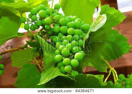 Green Unripe Grape