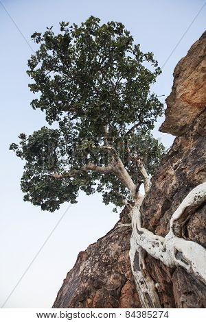 a tree twists around a rock in the Tuli Block