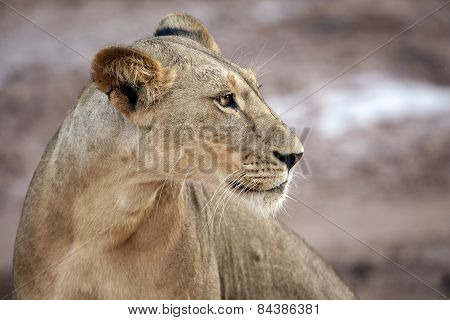 A lioness stalks along a river bank in Kenya